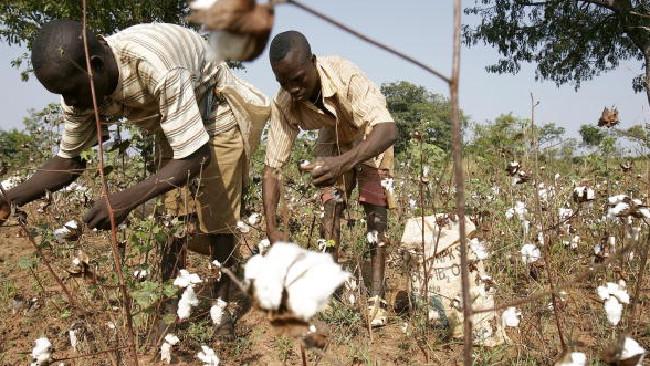Image result for Cotton in Kenya